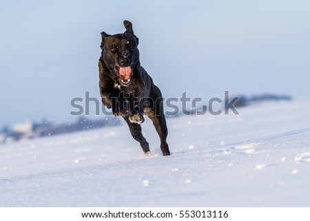 Running dog on snow, black dog on snow, snow dog