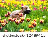 Running dog on tulips (Irish soft coated wheaten terrier) - stock photo