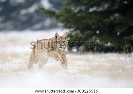 Running eurasian lynx cub on snowy ground with green tree on background. Cold winter season. Freezy weather. - stock photo