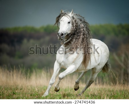 running free andalusian horse against stormy sky background - stock photo
