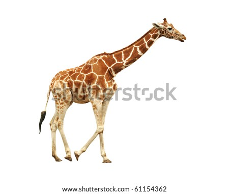 Running giraffe isolated on white background
