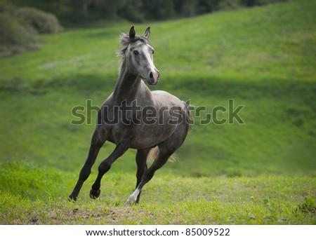 Running grey horse - stock photo