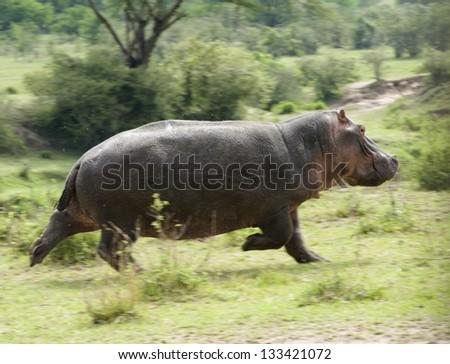Running Hippo - stock photo
