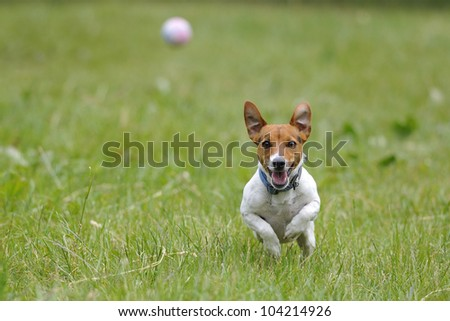Running jack russell terrier for thrown ball aport - stock photo