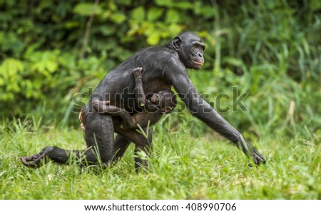 Running Mother and Cub of chimpanzee  Bonobo in natural habitat. Green natural background.  The Bonobo ( Pan paniscus). Democratic Republic of Congo. Africa     - stock photo
