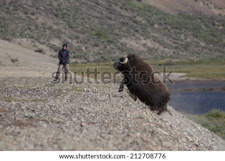 Running musk ox and hiker in arctic valley, Greenland - stock photo