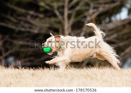 Running Mutt of border terrier with ball - stock photo