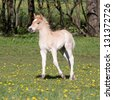 Running nice haflinger pony foal - stock photo
