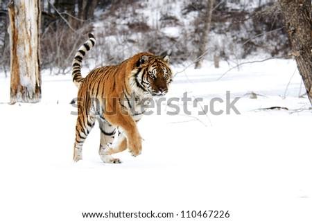 Running Tiger - stock photo