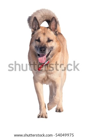 Running West Siberian Laika (Husky), isolated on white - stock photo