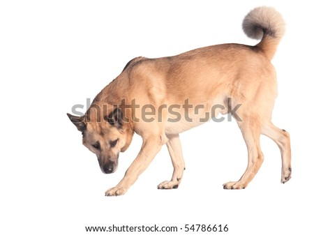 Running west siberian laika (husky), isolated on white - stock photo