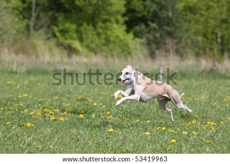 Running Whippet - stock photo
