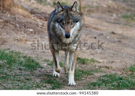 running wolf - stock photo