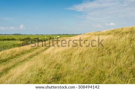 Rural Dutch landscape in the summer season with a dike with yellowed grass in the foreground and green meadows with some white cows in the background. - stock photo