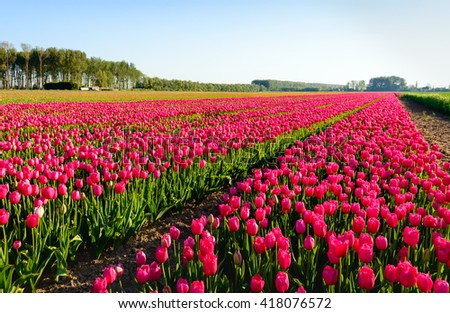 Rural landscape in the Netherlands with converging rows of bright red blooming tulip bulbs in the field of a specialized grower. It is early in the sunny morning in the beginning of the spring season. - stock photo