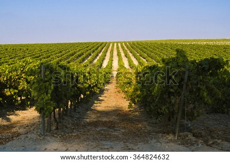 Rural landscape of green Vineyard and blue sky - stock photo