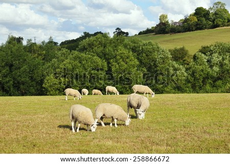 Rural Landscape View of a Sheep Grazing in a Green Farmland Field - stock photo