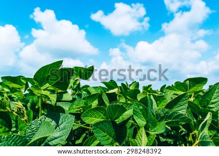 Rural landscape with fresh green soy field. Soybean field  - stock photo