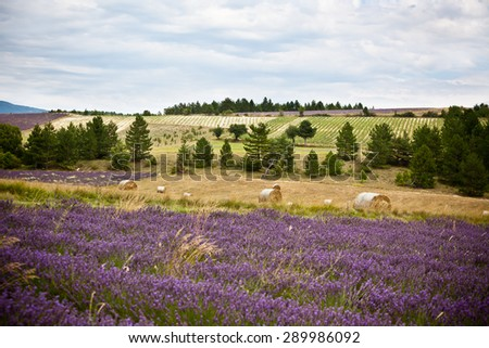 Rural landscape with Lavender field and Straw bales in Provence, France. Shot with selective focus - stock photo