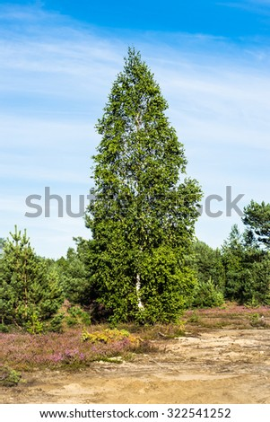 Rural landscape with lonely birch tree in young pine forest. Field of heather around. - stock photo