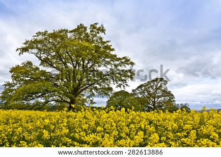 Rural landscape with oak tree and rapeseed field. - stock photo