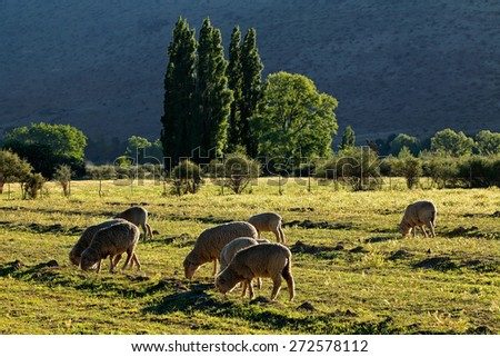 Rural landscape with trees, pasture and grazing sheep in late afternoon light, Karoo region, South Africa - stock photo