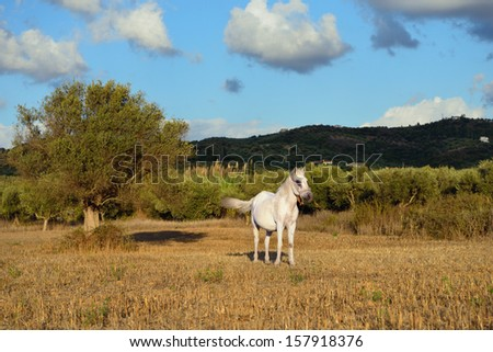 Rural landscape with white horse and olive tree at sunset. Messenia, Greece