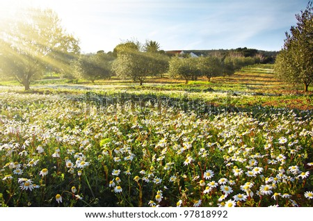 Rural landscape with white wild daisies announcing the return of Springtime - stock photo
