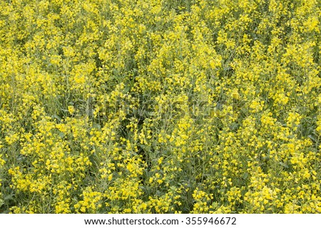 Rural  rape flower landscape in yunnan province, china - stock photo