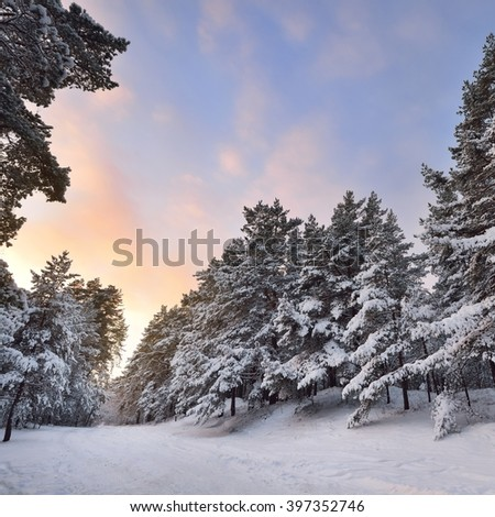 Rural road through a winter wonderland in a pine forest