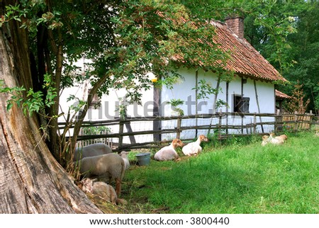 Rural scene in belgium, goats grazing on a sunny summer day. Old farmhouse in background. Agriculture concept.