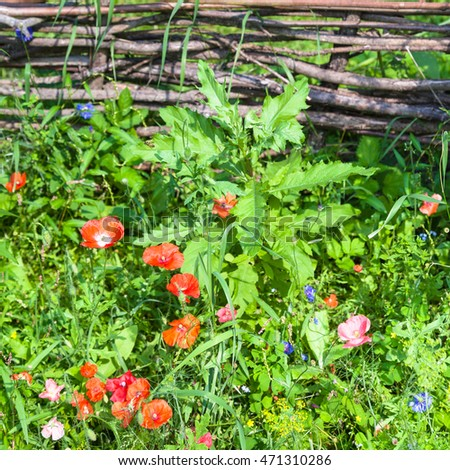rural scenery - old wattle fence and green meadow with red poppy flowers