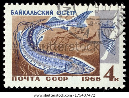 """RUSSIA - CIRCA 1966: A stamp printed in USSR shows Sturgeon with the inscription �Baikal Sturgeon (Acipenser baeri baicalensis)� from the series """"Commercial fish of Lake Baikal"""", circa 1966 - stock photo"""