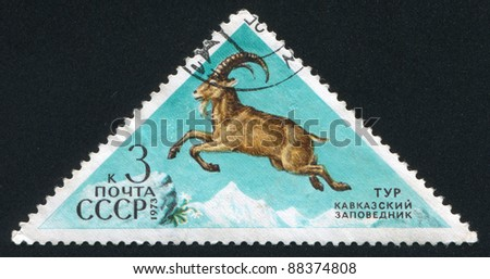 RUSSIA - CIRCA 1973: stamp printed by Russia, shows Ibex, circa 1973 - stock photo