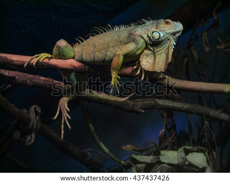Russia, 2015 - Iguana on a branch