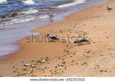 Russia. The Gulf of Finland. Crows eat mollusks thrown ashore by storm.