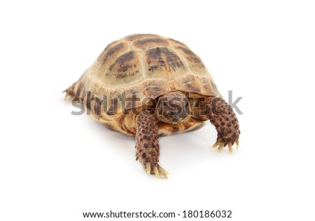 Russian Asian tortoise over white background