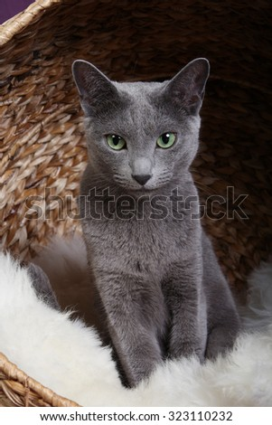 Russian Blue Cat, Archangel Blue, Archangel Cat