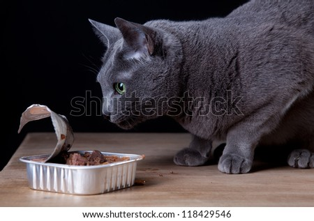 Russian Blue Cat eating canned catfood in studio