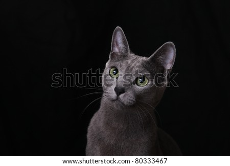 Russian Blue Cat on black background - stock photo
