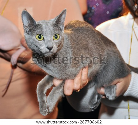 Russian blue cat on hands