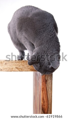 Russian Blue cat on Table looking down isolated on white - stock photo