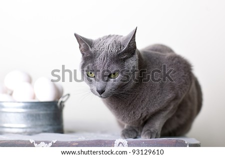 Russian Blue cat on Table with bowl of Eggs - stock photo
