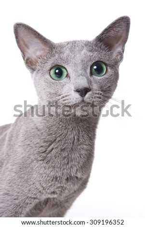 Russian blue cat portrait (isolated on white) - stock photo