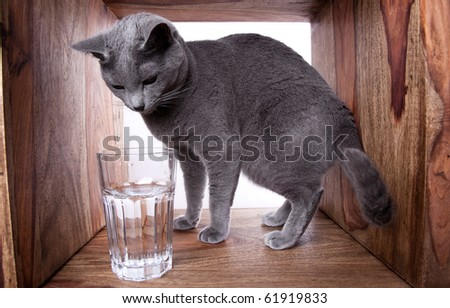 Russian Blue cat with glass of water - stock photo