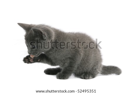 Russian Blue kitten cleaning itself - stock photo