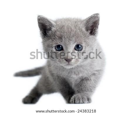 russian blue kitten on white background - stock photo