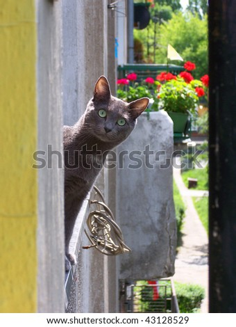 Russian Blue smiling cat - stock photo