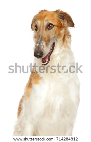 Russian Borzoi dog on a white background