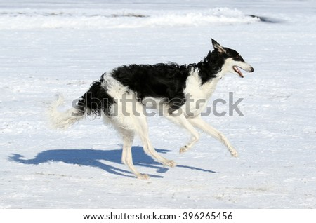 Russian canine wolfhound. The dog runs on snow - stock photo